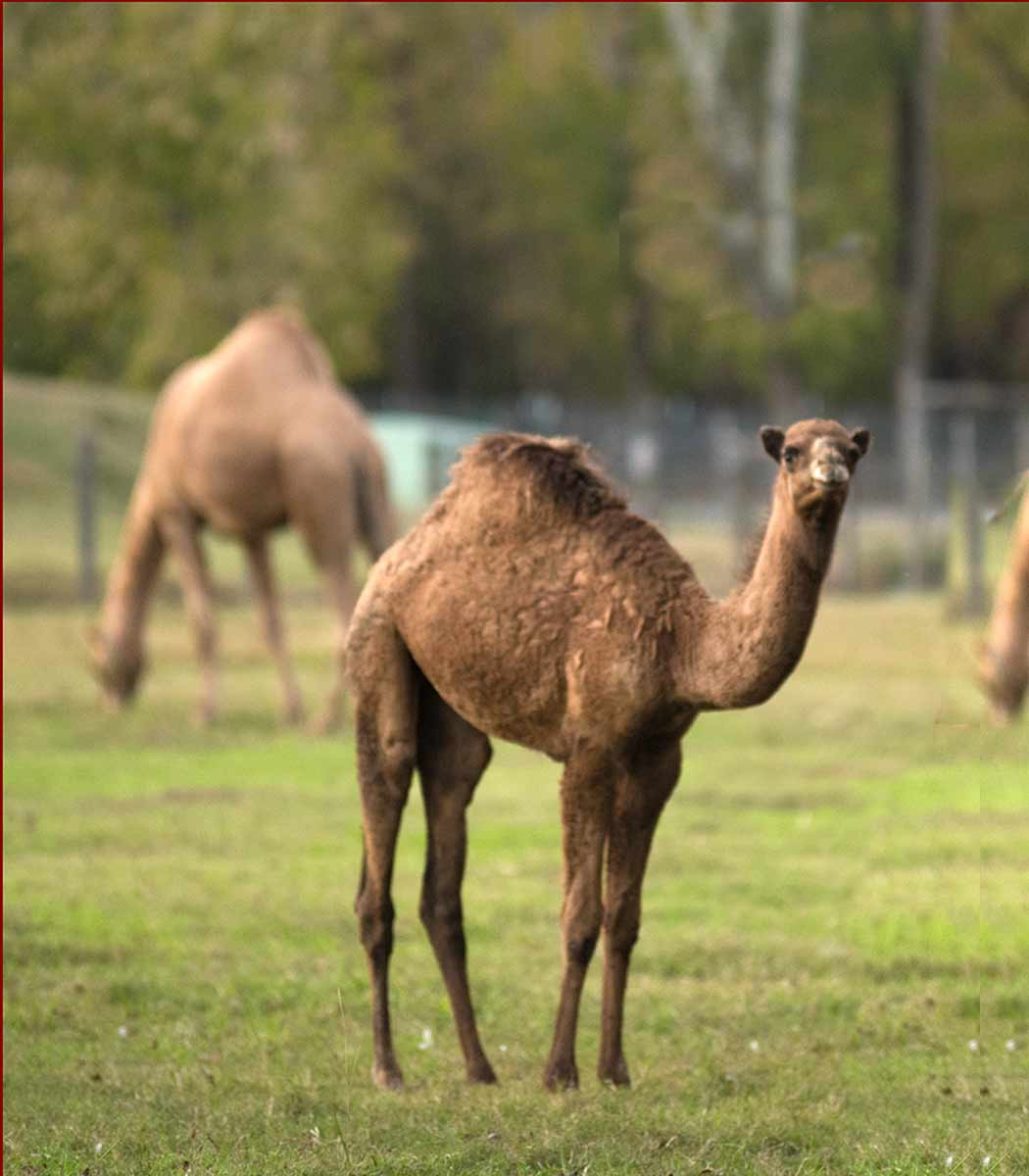 Camels grazing at Pettit Creek Farms