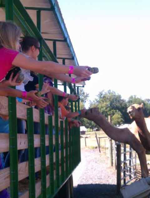 Feeding Camels at Pettit Creek Farm